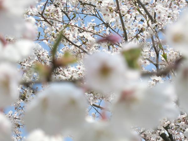 sakura_7409.jpg